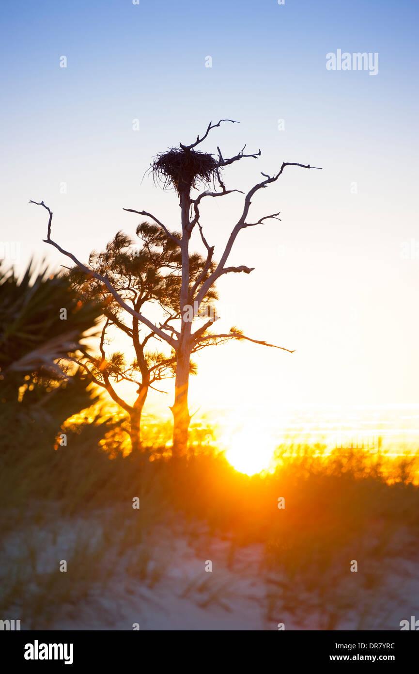 USA Mississippi MS Horn Island - Gulf Islands National Seashore - Barrier island in Gulf of Mexico near Biloxi - Osprey nest - Stock Image