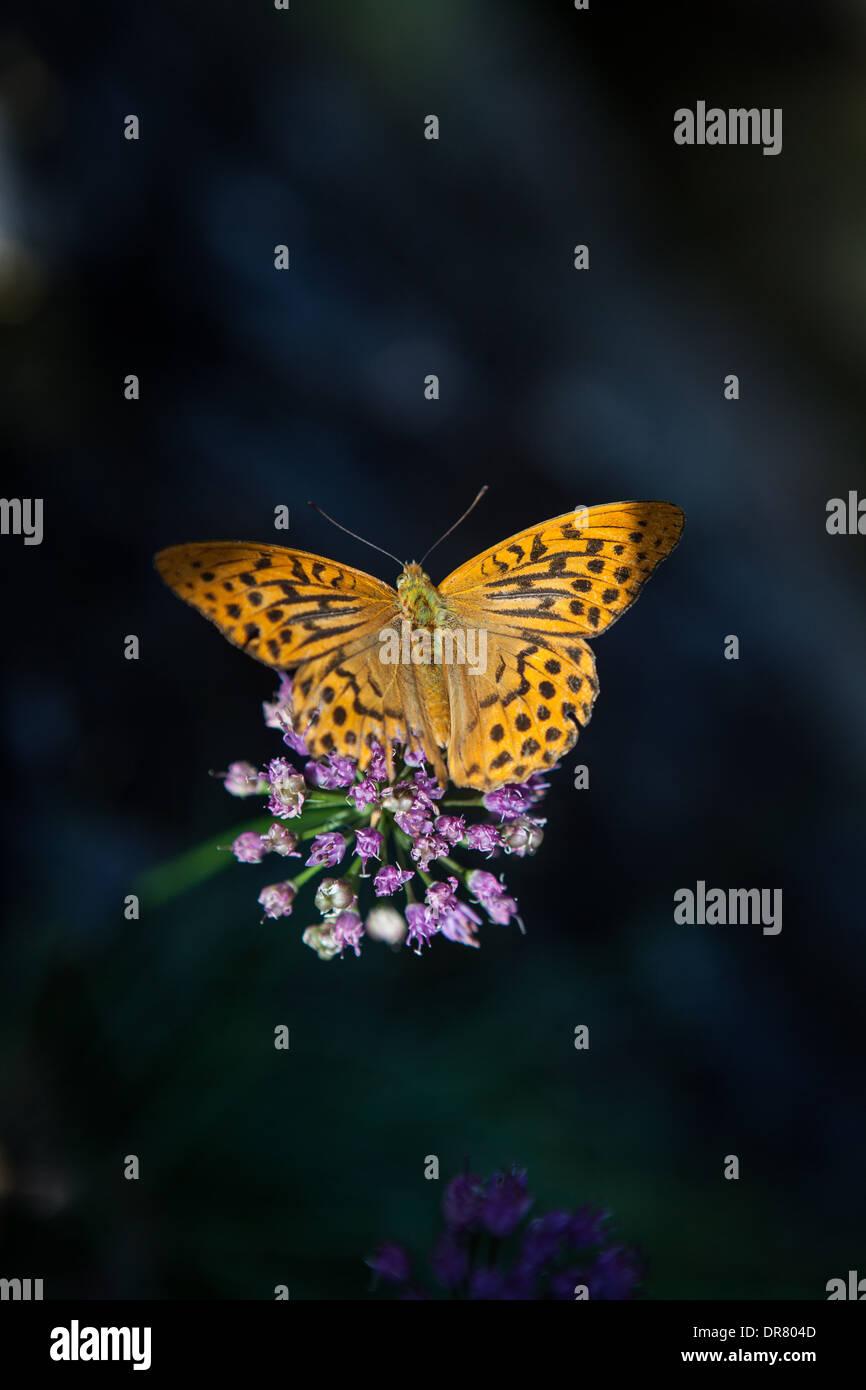 butterfly, dark green fritillary (Argynnis aglaja) south of france, flowers - Stock Image