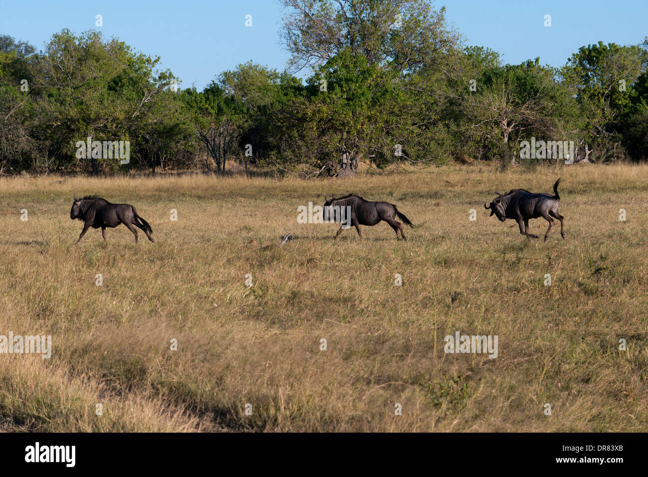Some wildebeest scamper near the camp Savute Elephant Camp by Orient Express in Botswna in Chobe National Park. Stock Photo