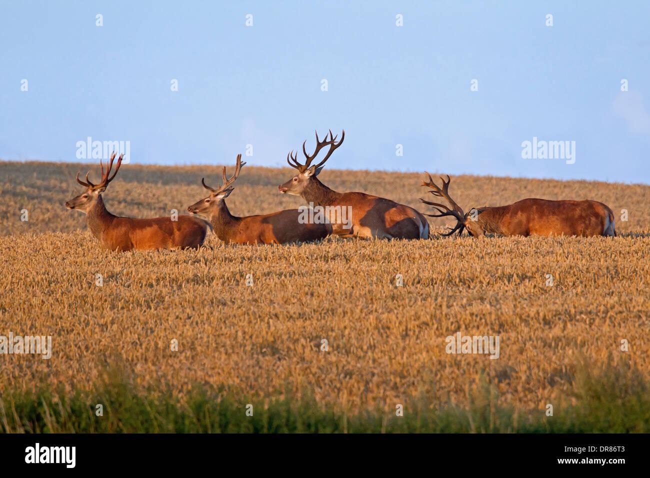 Herd of red deer (Cervus elaphus) stags traversing wheat field / cornfield in summer - Stock Image