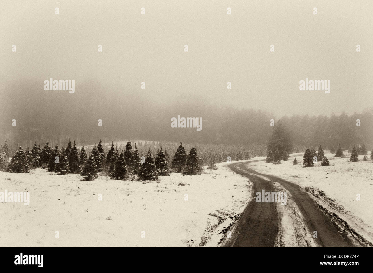 Road through Christmas Tree Farm on a Snowy and Foggy Evening in ...