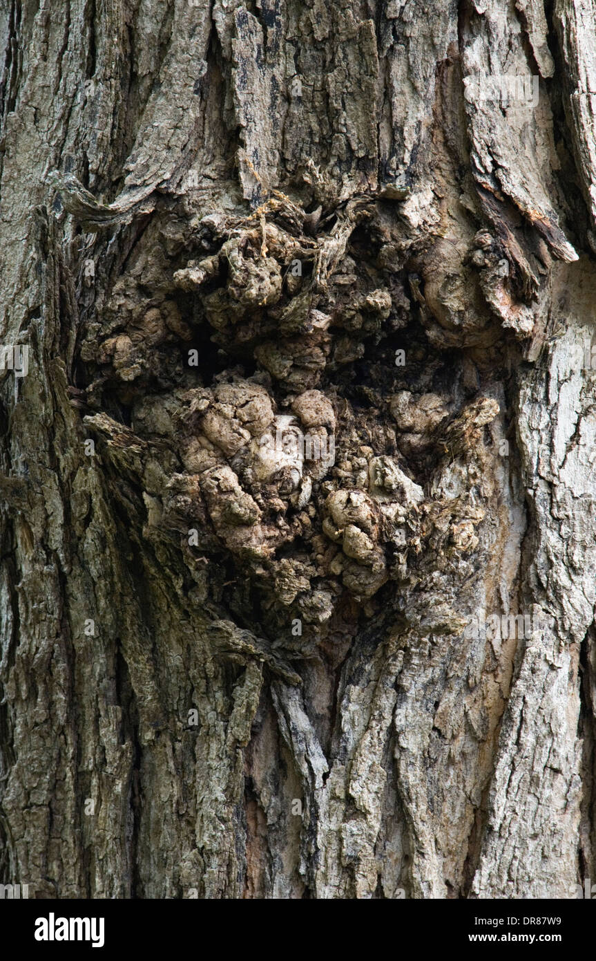 Face in the Bark of a Maple Tree - Stock Image