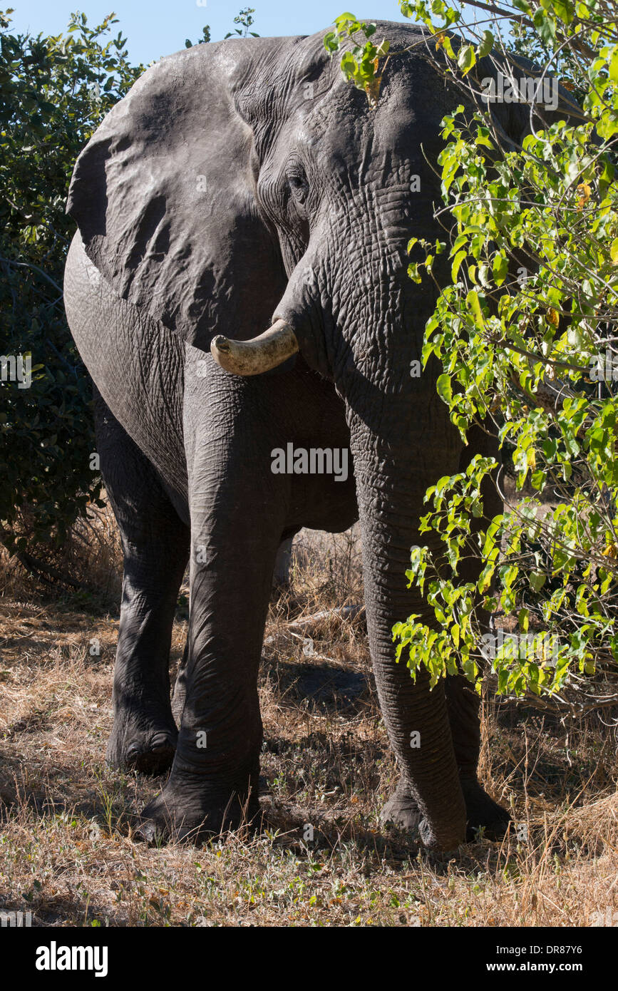 A copy of adult elephant walks near Savute Elephant Camp by Orient Express in Botswna in Chobe National Park. - Stock Image
