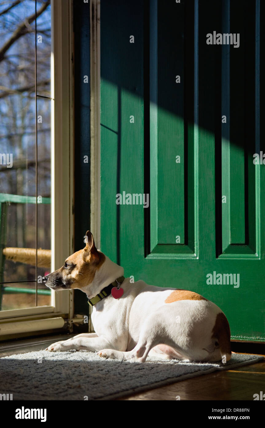 Jack Russell Terrier Warming Himself in the Sun while Looking Out the Front Door of a Home Stock Photo