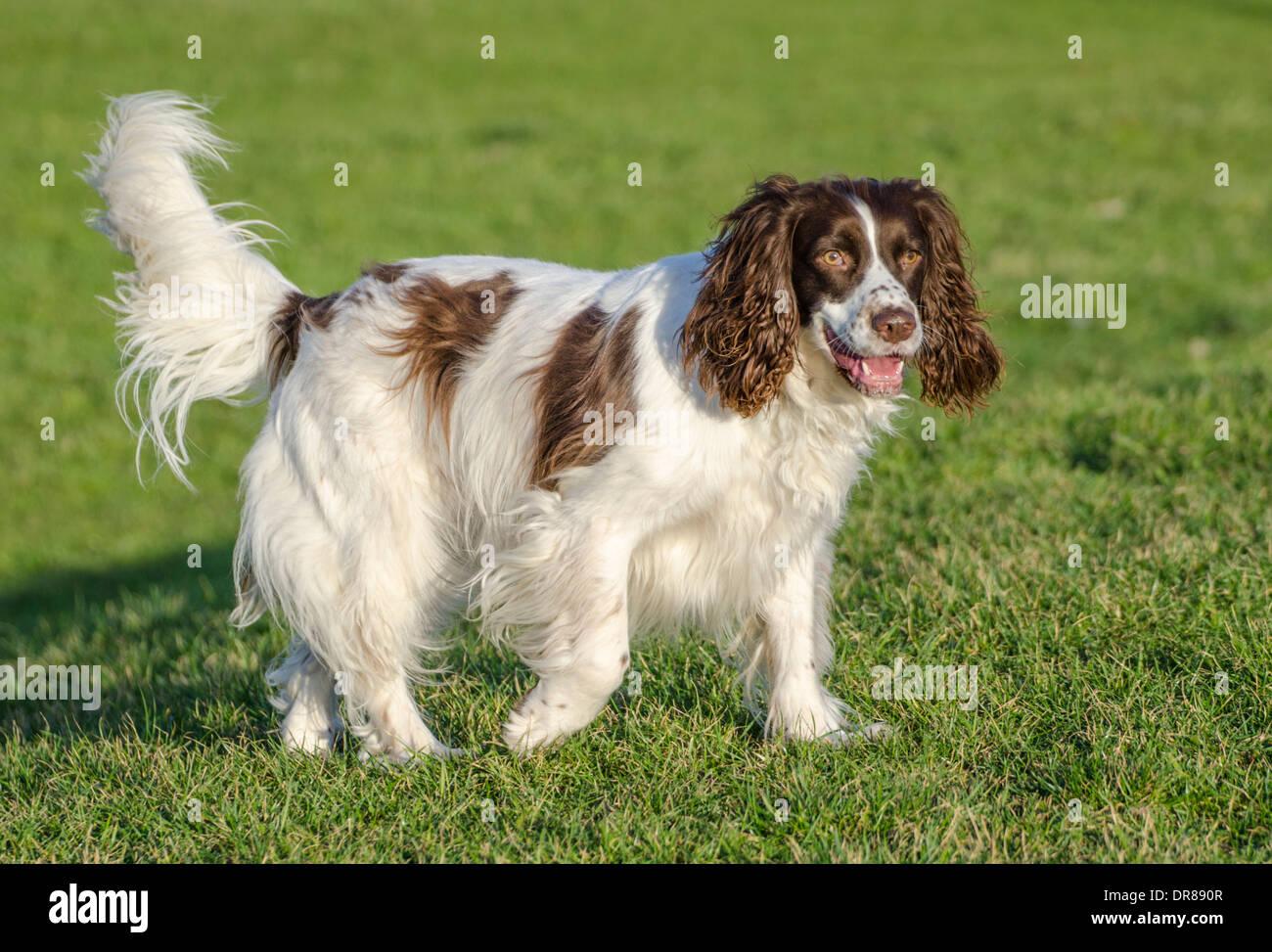 Welsh Springer Spaniel dog standing on grass. - Stock Image