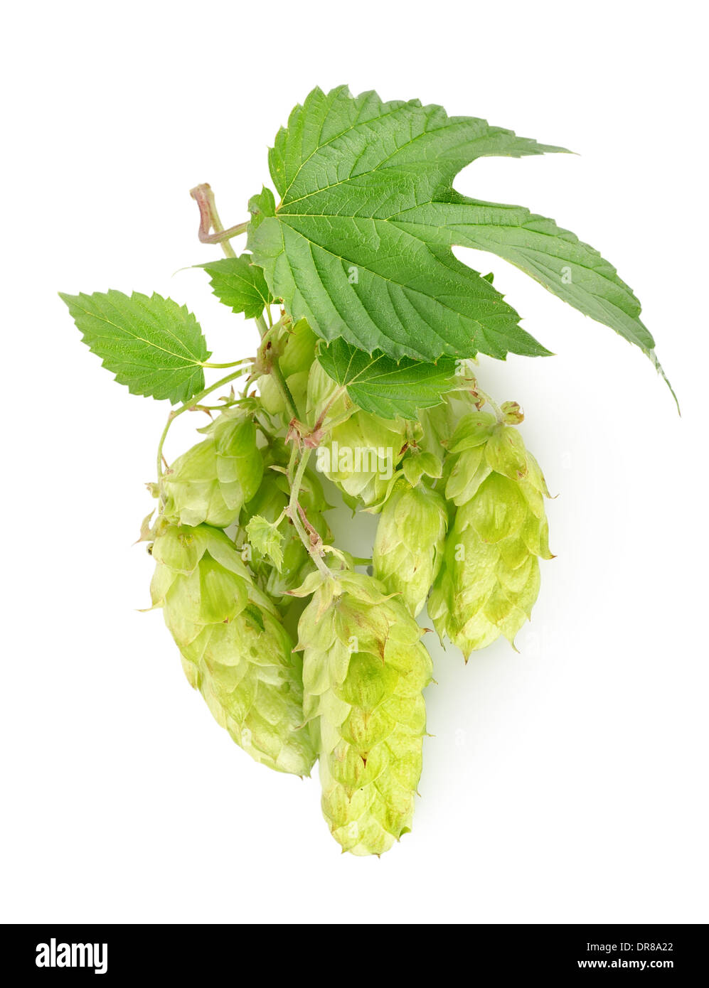 Branch of hops isolated on a white background - Stock Image