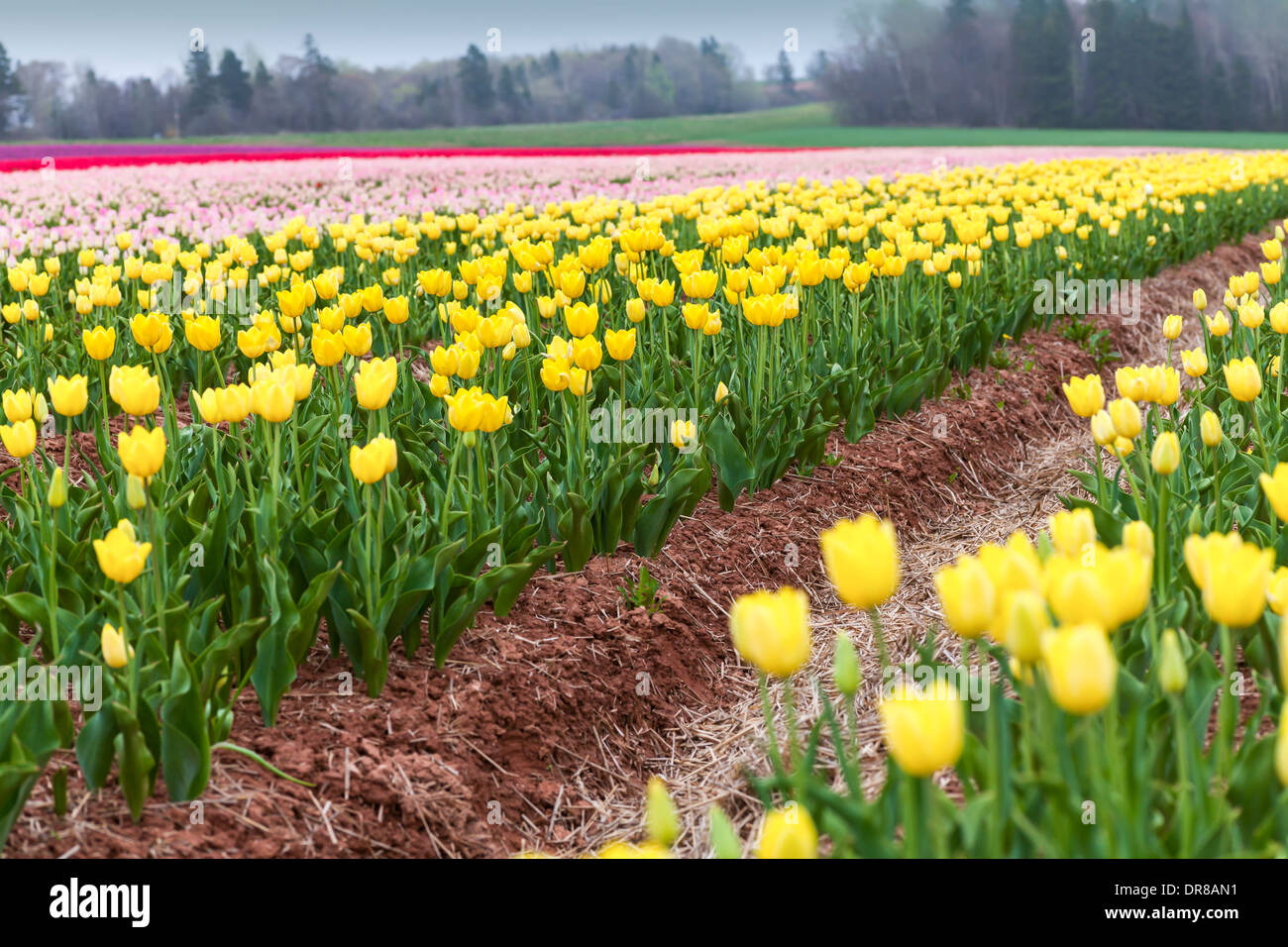 Rows of colorful spring tulips. Stock Photo