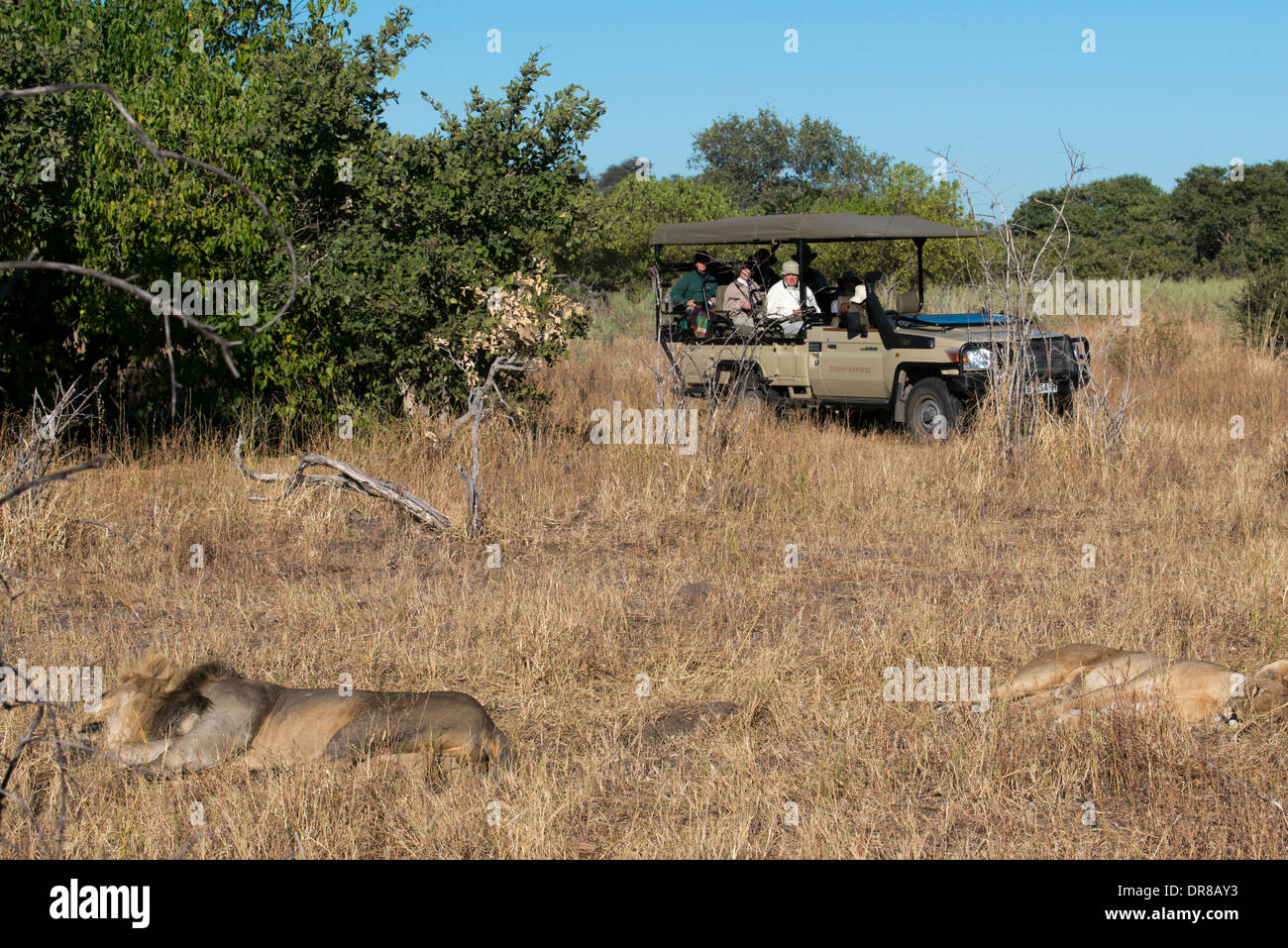 A lioness resting and while tourists a 4x4 photograph Orient Express them constantly in the vicinity of Camp Savute Elephant - Stock Image