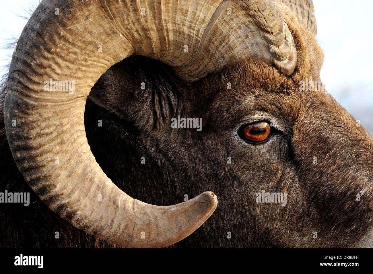 A close up side view of a wild bighorn ram showing detail in the eye and curl of his horns - Stock Image