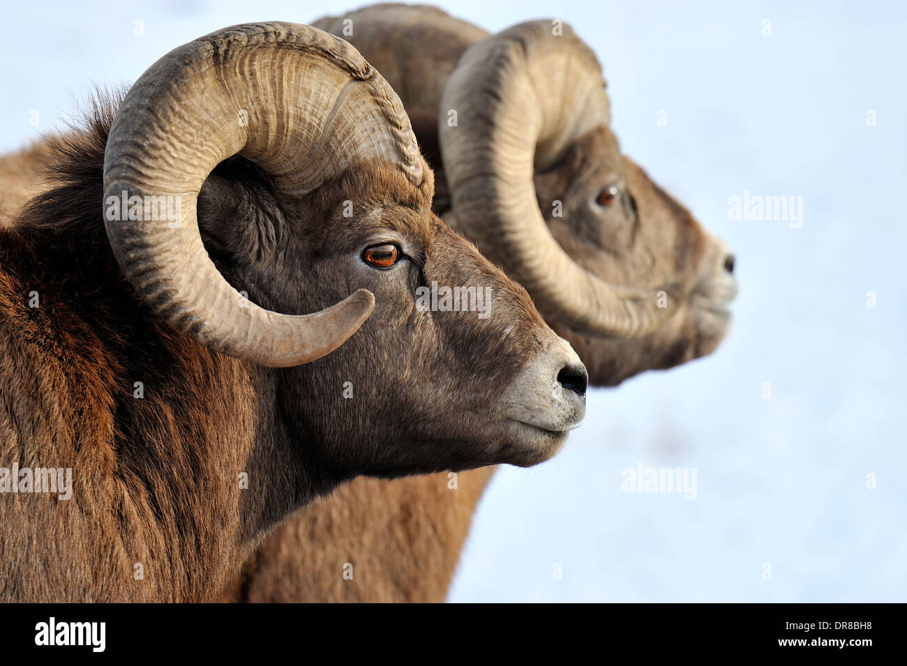 A side portrait view of a wild Bighorn sheep - Stock Image