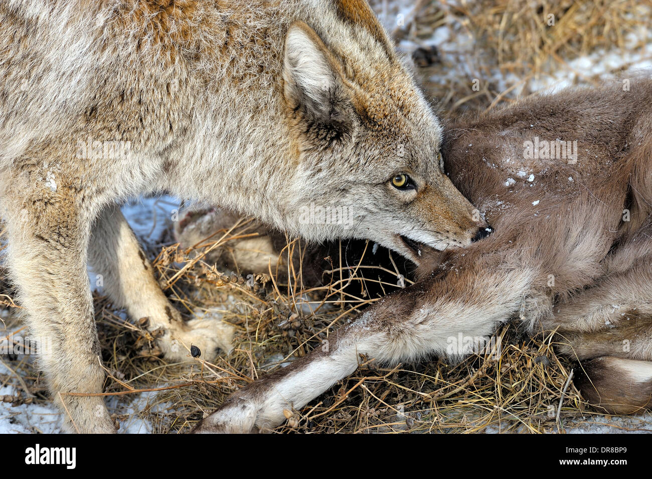 A coyote with a baby bighorn sheep that he has just killed for food. - Stock Image