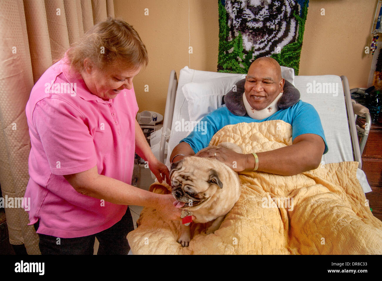 A senior woman volunteer brings a Pug comfort dog to an African American hospital patient in Southern California. MODEL RELEASE - Stock Image