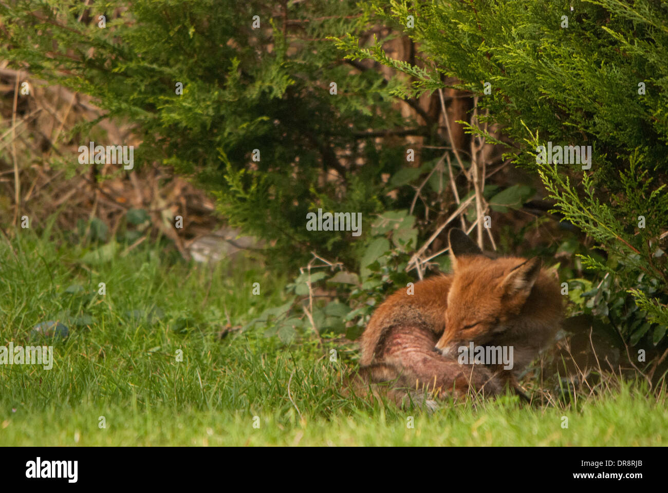 Fox (Vulpes vulpes) with skin affliction in a back garden. - Stock Image