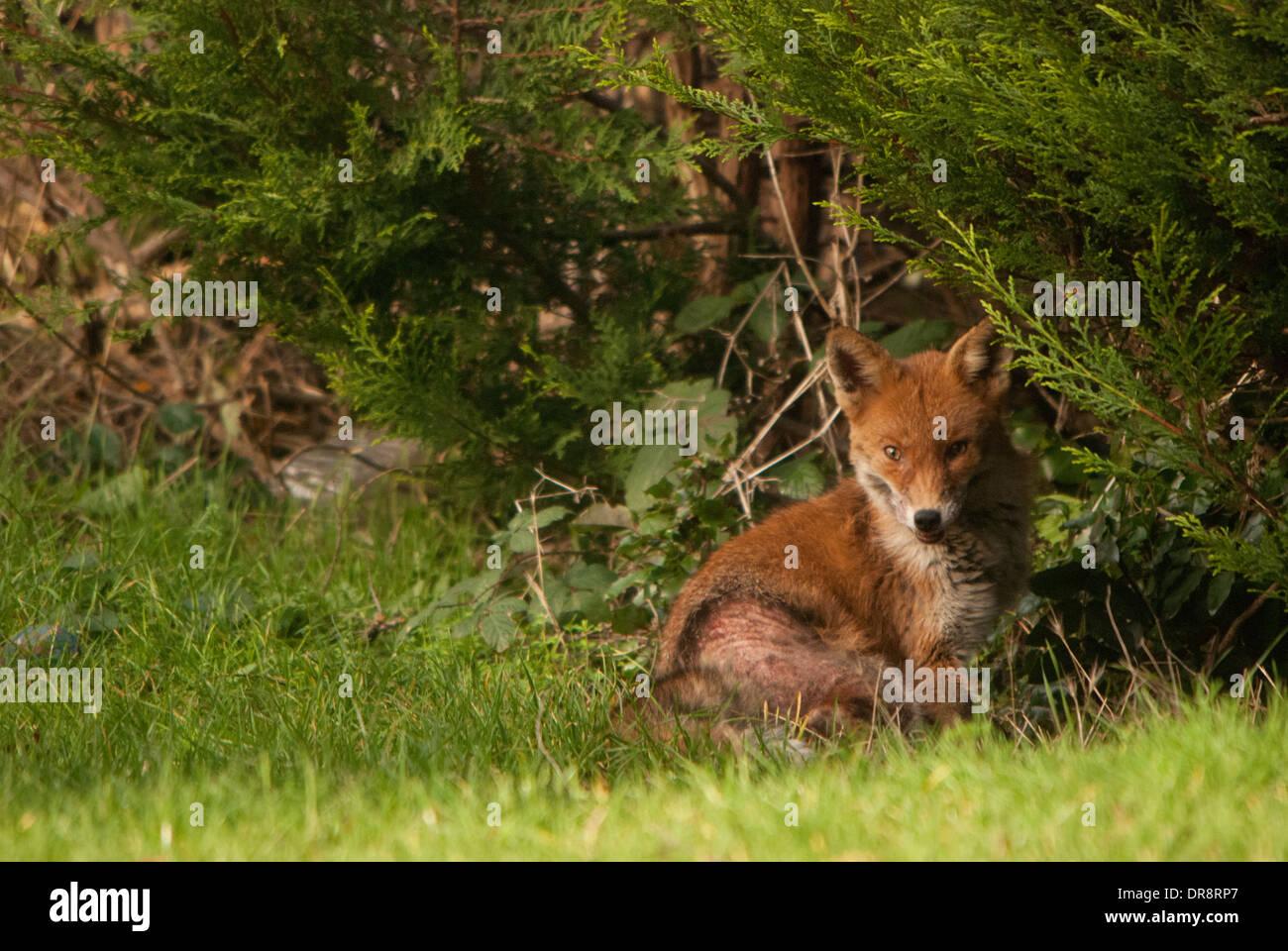 Fox looking at camera (Vulpes vulpes); skin affliction in a back garden. - Stock Image