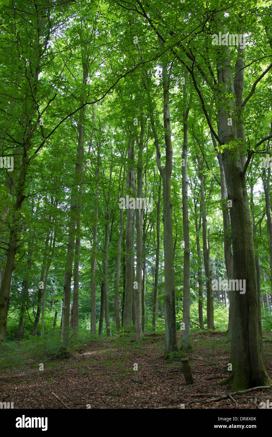 Beech woold buchenwald forest wald deciduous deciduous Stock Photo