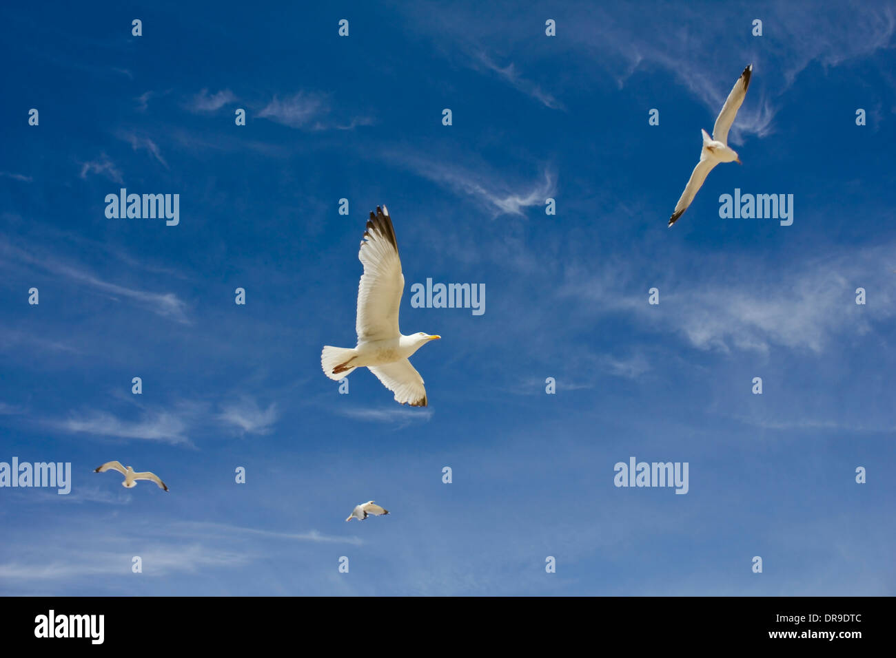 White Seagulls flying against a blue sky with wispy clouds. - Stock Image