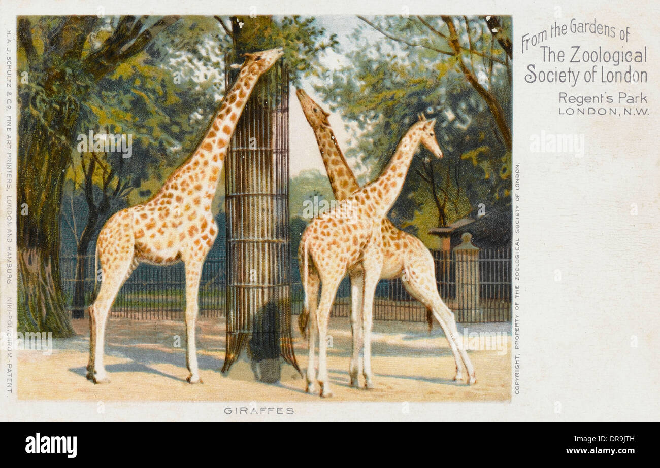 Giraffes at London Zoo - Regent's Park Stock Photo