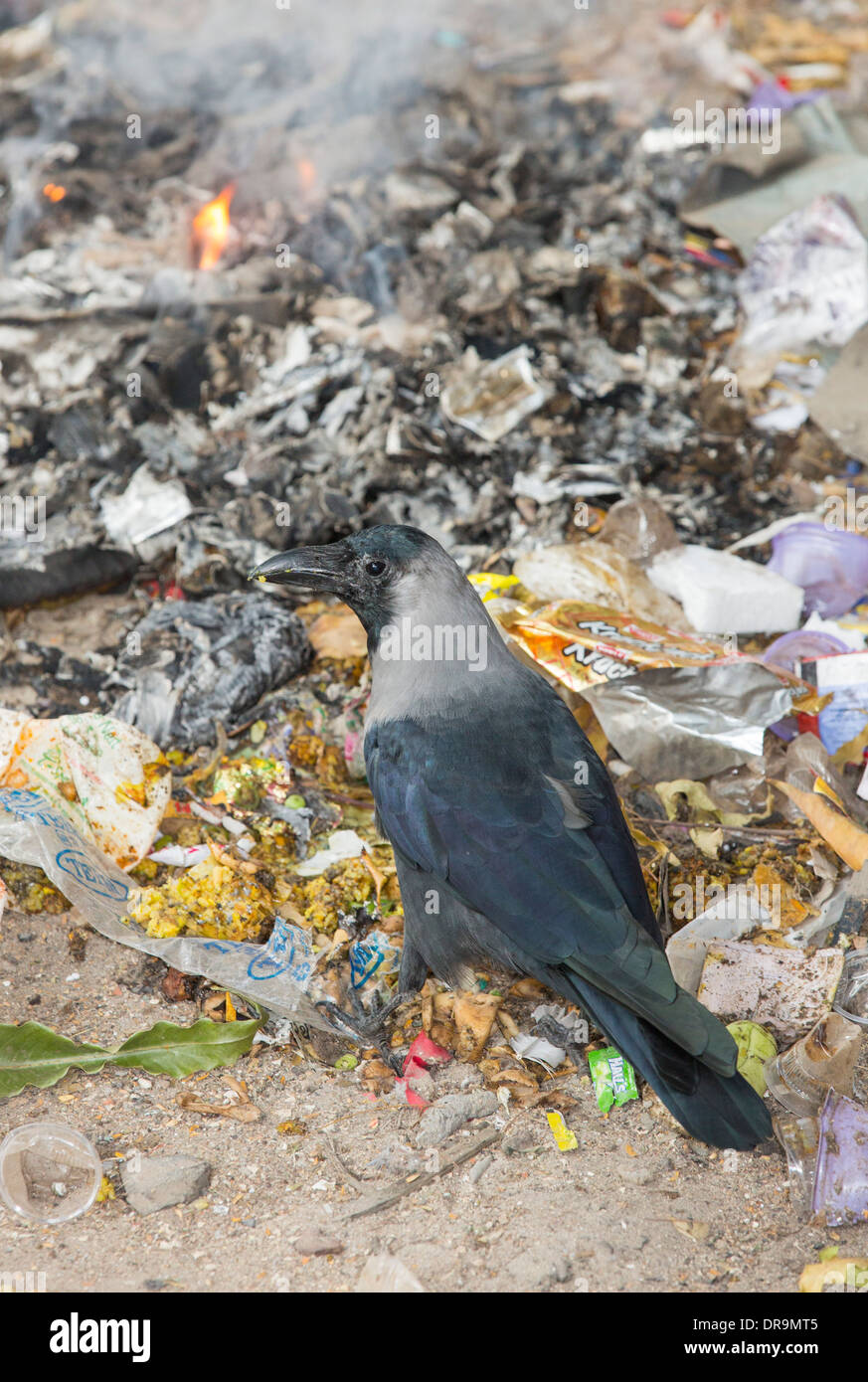A House Crow, (Corvus splendens) feeding on a rubbish pile in Ahmedabad; India; - Stock Image