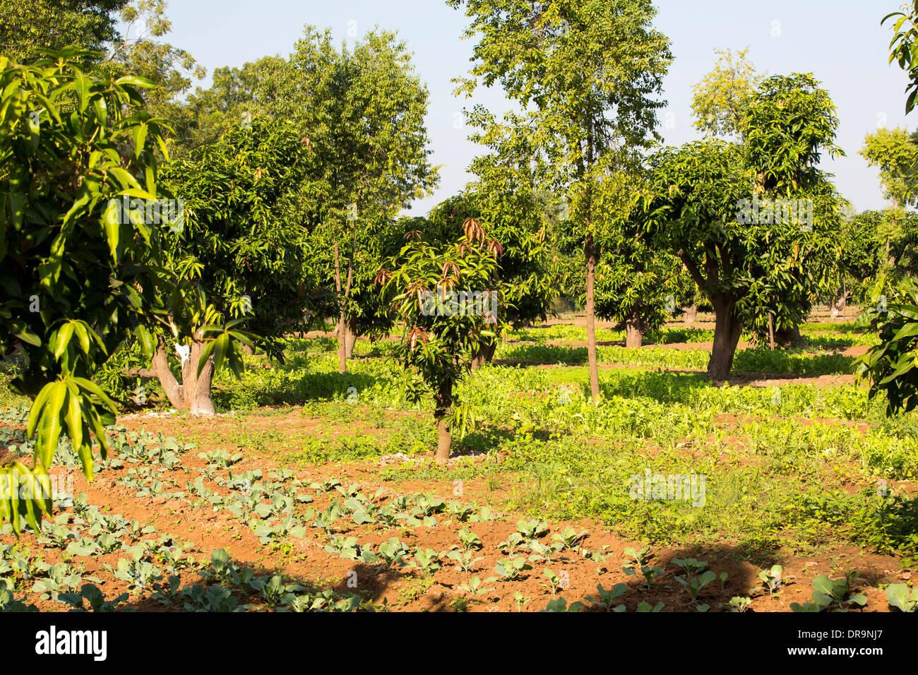 organic gardens that grow 70% of the Ashram's food,  Muni Seva Ashram in Goraj, near Vadodara, India - Stock Image