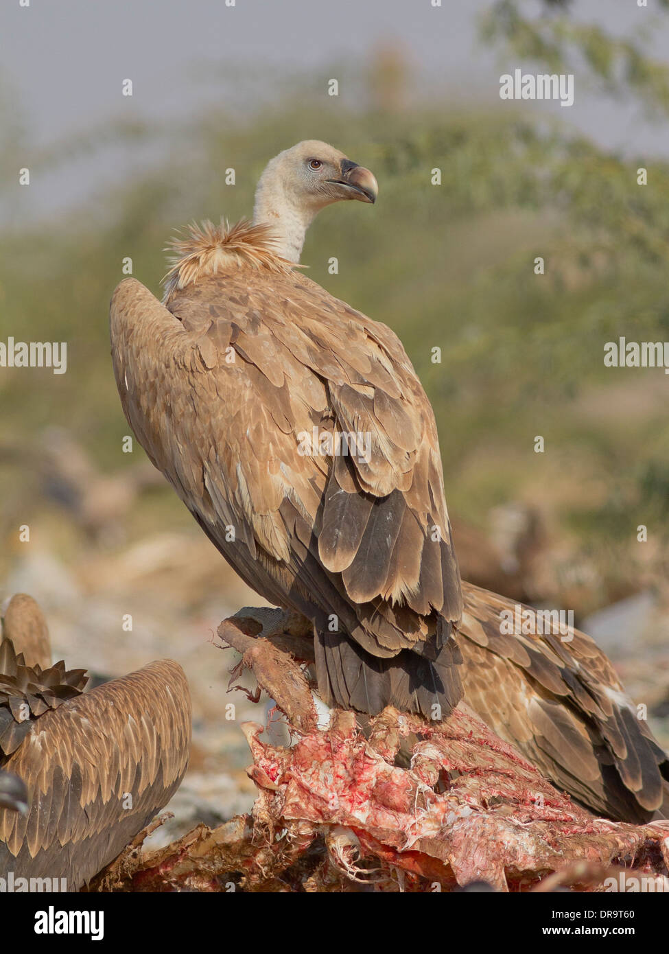 Griffon Vulture (Gyps fulvus) near Bikaner, Rajasthan, India. near Bikaner, Rajasthan, India. Stock Photo