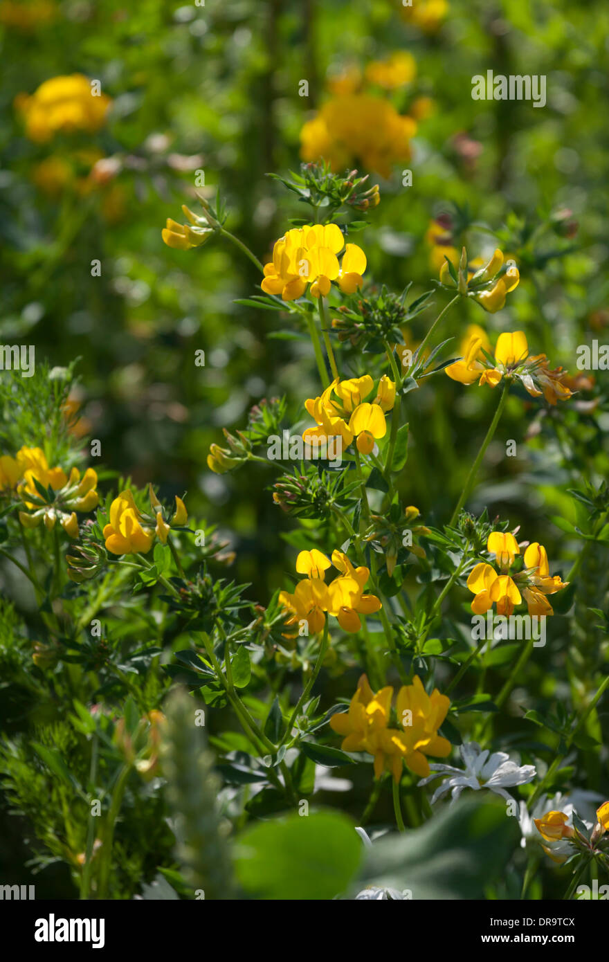 Yellow vetch flowers stock photo 65984938 alamy yellow vetch flowers mightylinksfo