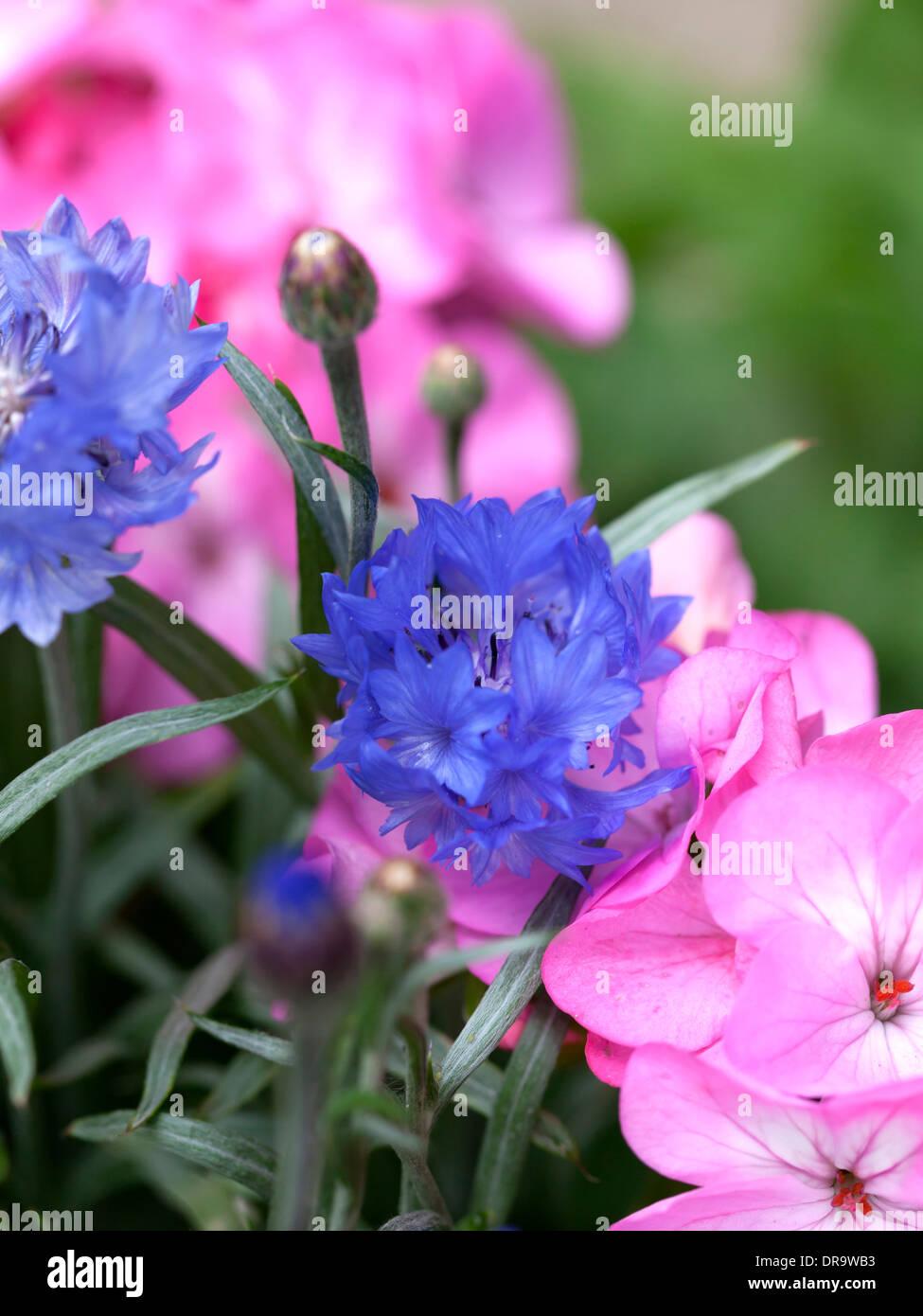 Pink geranium and blue cornflowers Stock Photo