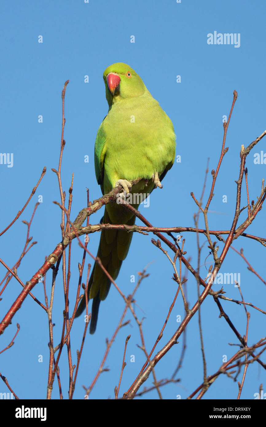 Female Ring-necked parakeet (Psittacula krameri) perched on branch Stock Photo