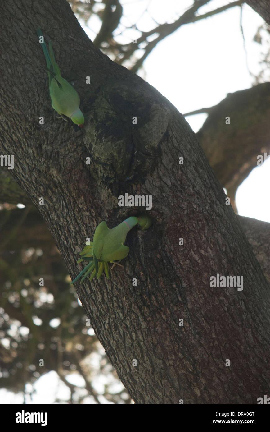 Ring Necked Parakeets (Psittacula krameri) at a nesting sight during Winter, unusual behavior. - Gunnersbury Park Stock Photo