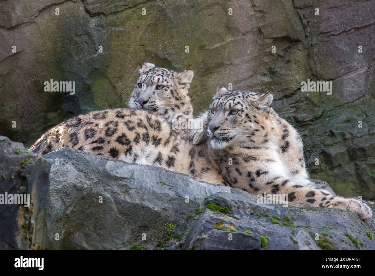 Snow Leopard with her 9 months old cub. - Stock Image