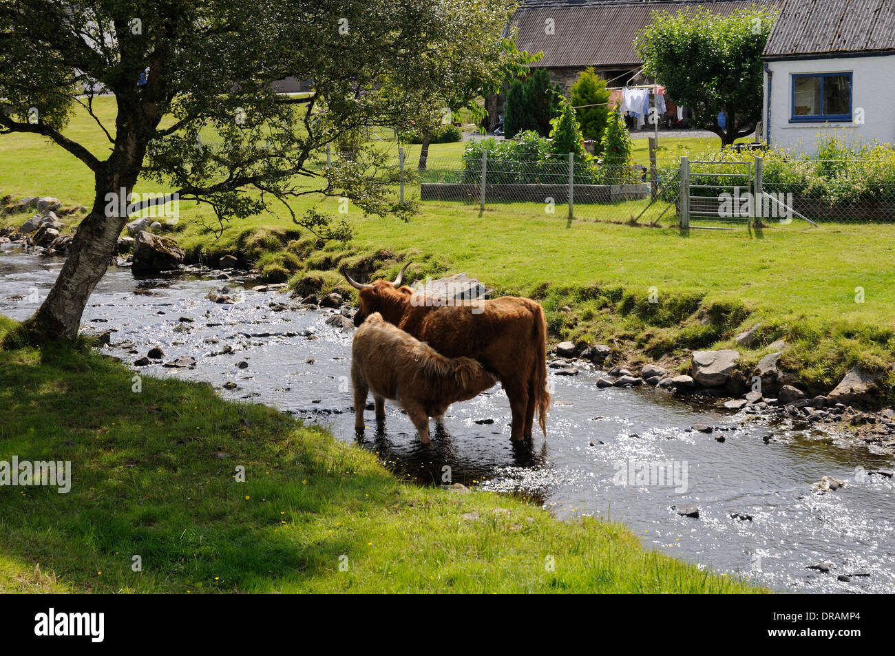 Highland cow suckling its calf in a burn, Duirinish, Ross and Cromarty, Scotland Stock Photo