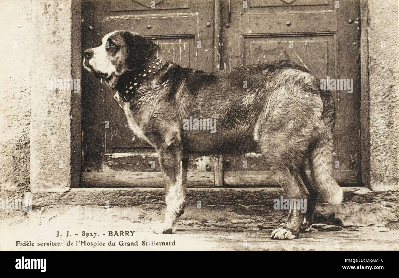 Barry the St Bernard - Stock Image