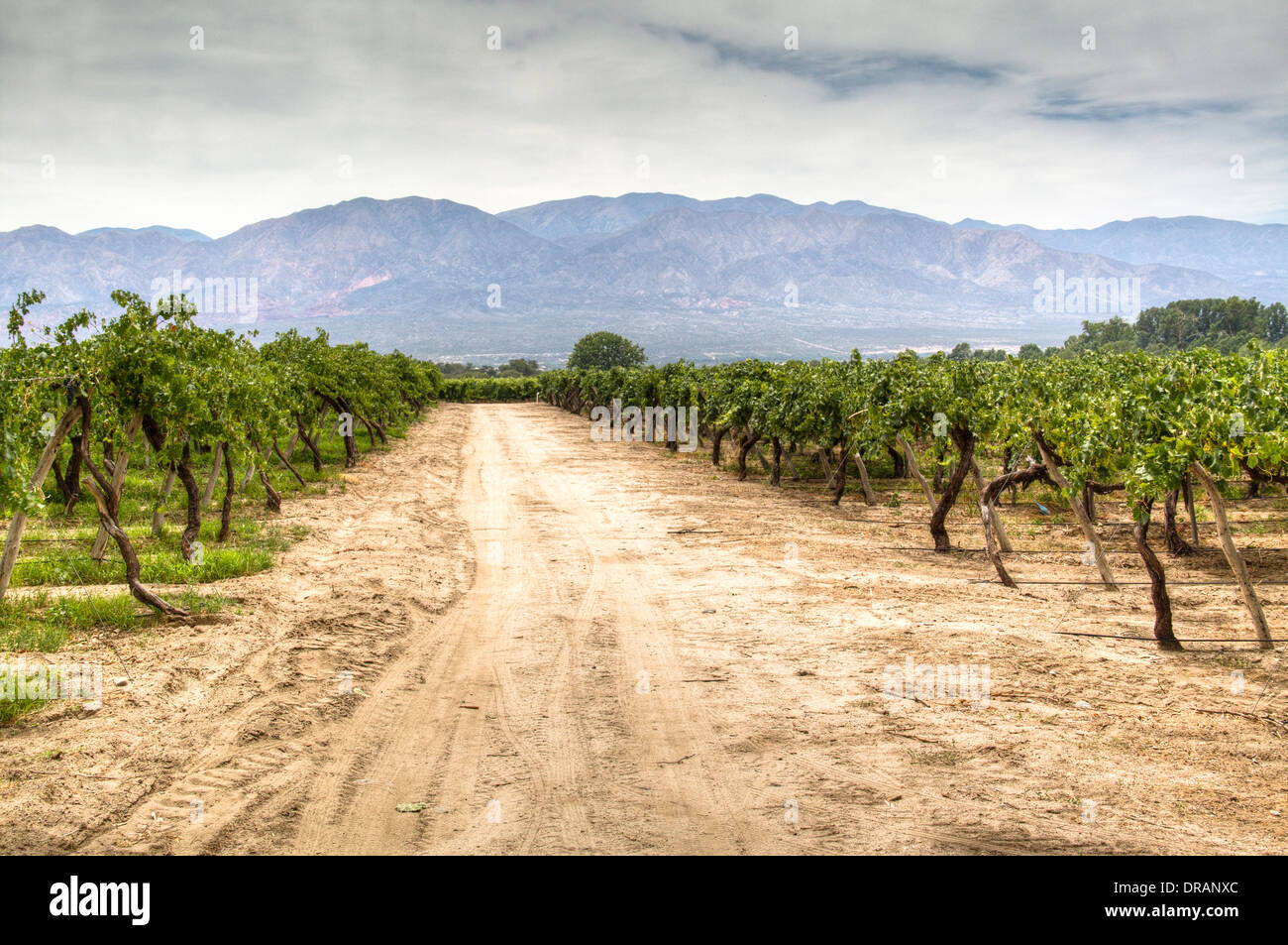 Vine yards in Cafayate - Stock Image