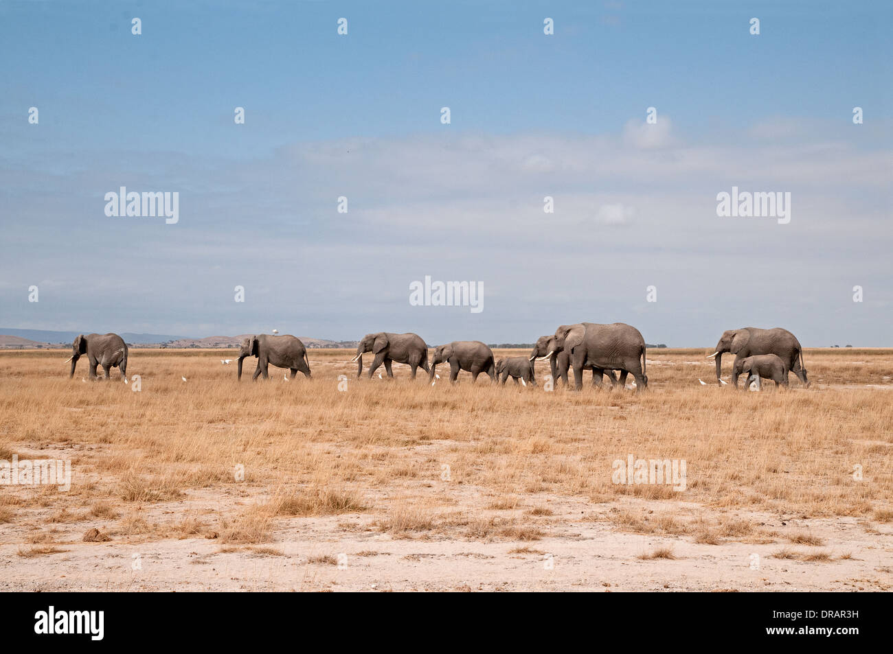 Family herd of adult female Elephants and calves on the move across the plains of Amboseli National Park Kenya East Africa - Stock Image