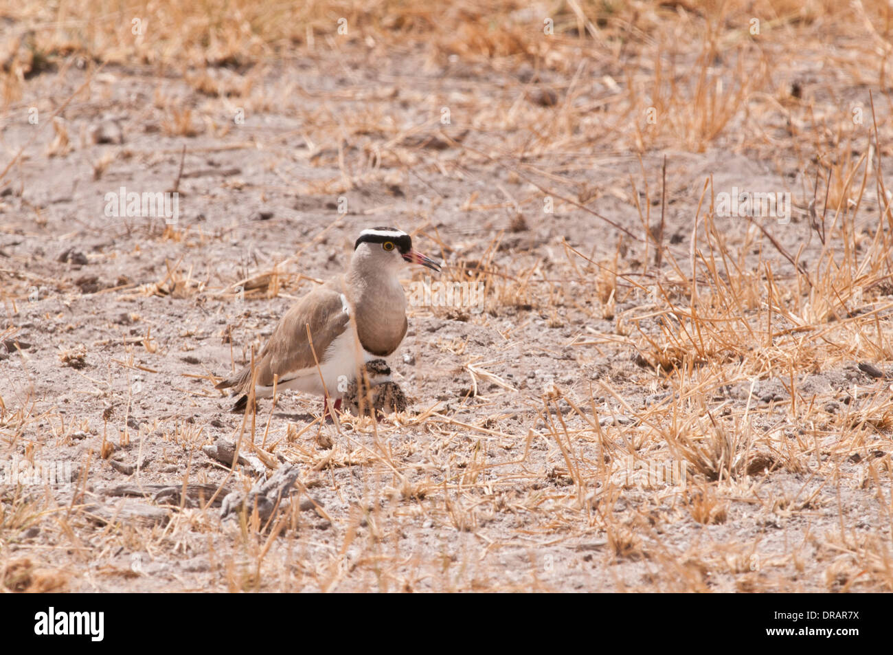 Crowned Plover with tiny chick on dried out grassland in Amboseli National Park Kenya East Africa - Stock Image