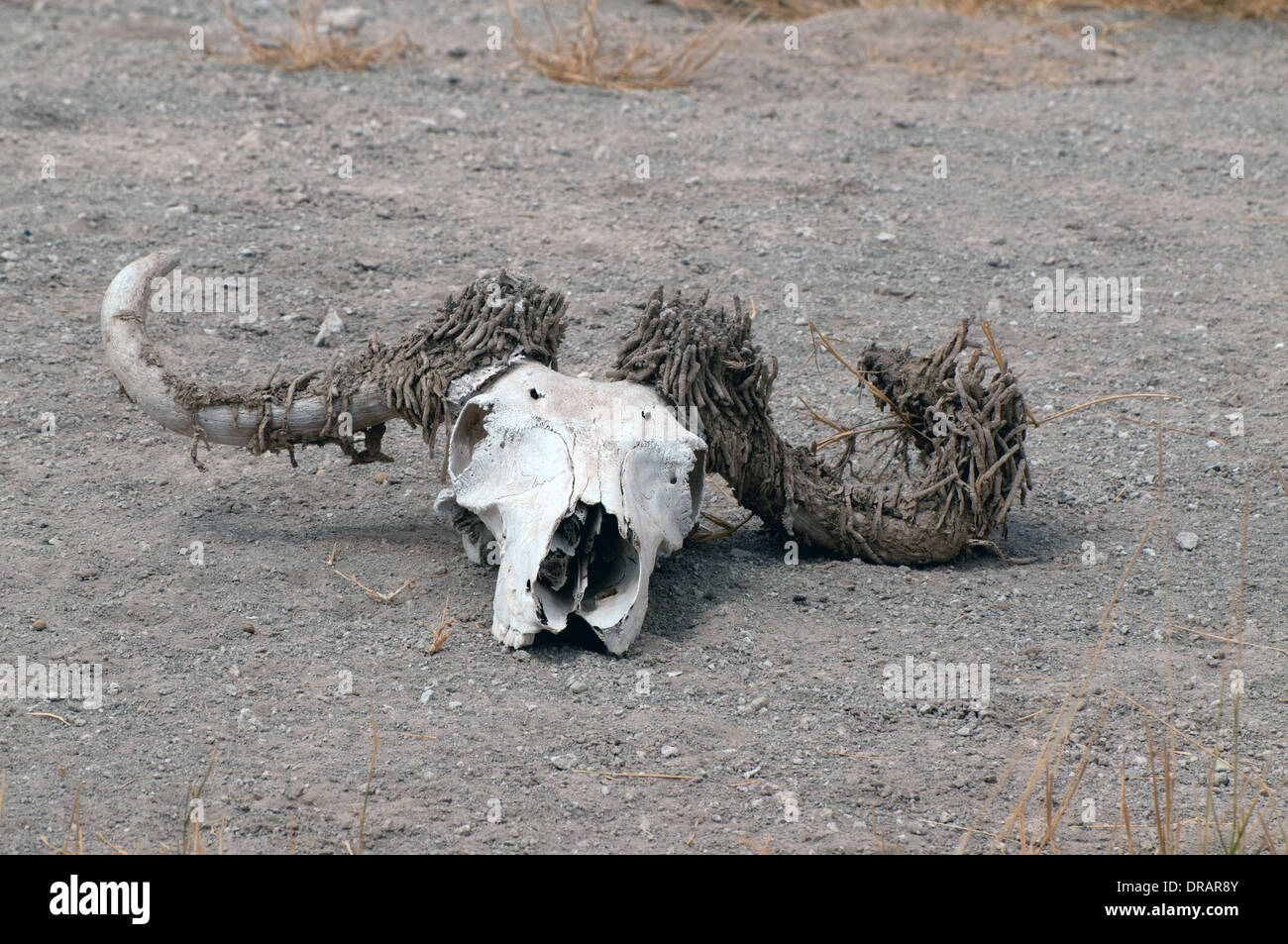 Buffalo skull with horns covered with horn moth towers in keratin sheath of horn Amboseli National Park Kenya East Africa - Stock Image