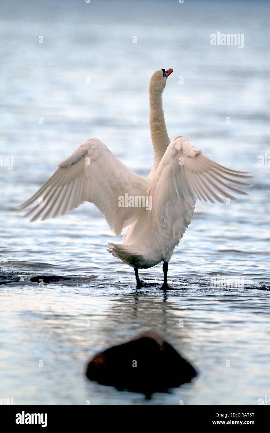 The Mute swan is a huge bird with a snake like neck and a bad temper from time to time - Stock Image