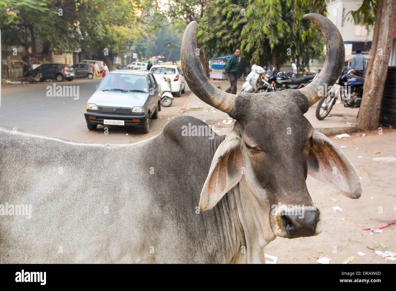 Brahman cow in Ahmedabad, India. - Stock Image