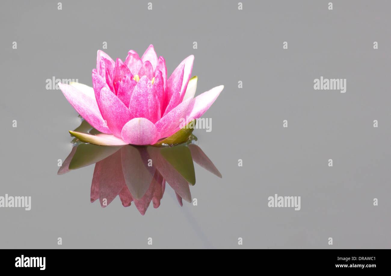 Lotus Flower As Symbol Stock Photos Lotus Flower As Symbol Stock