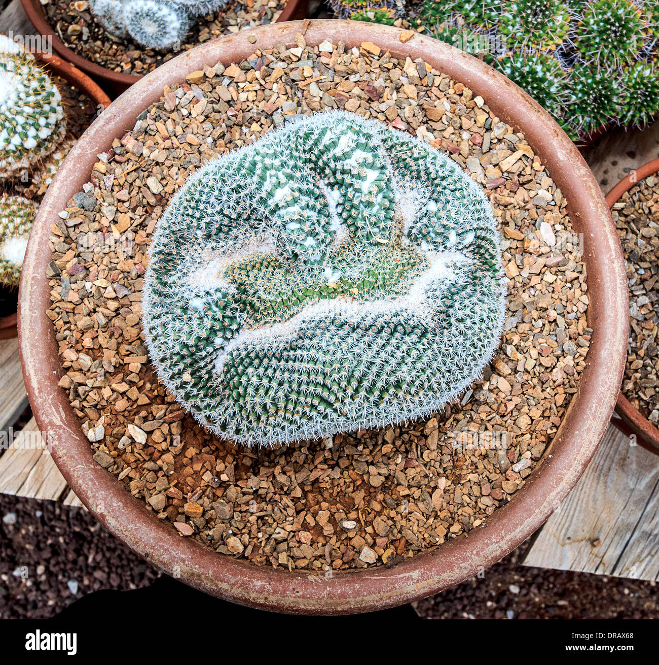 crested mammillaria parkinsonii, a cactus native to southern areas of Mexico. It's hardy in heat and cold. - Stock Image