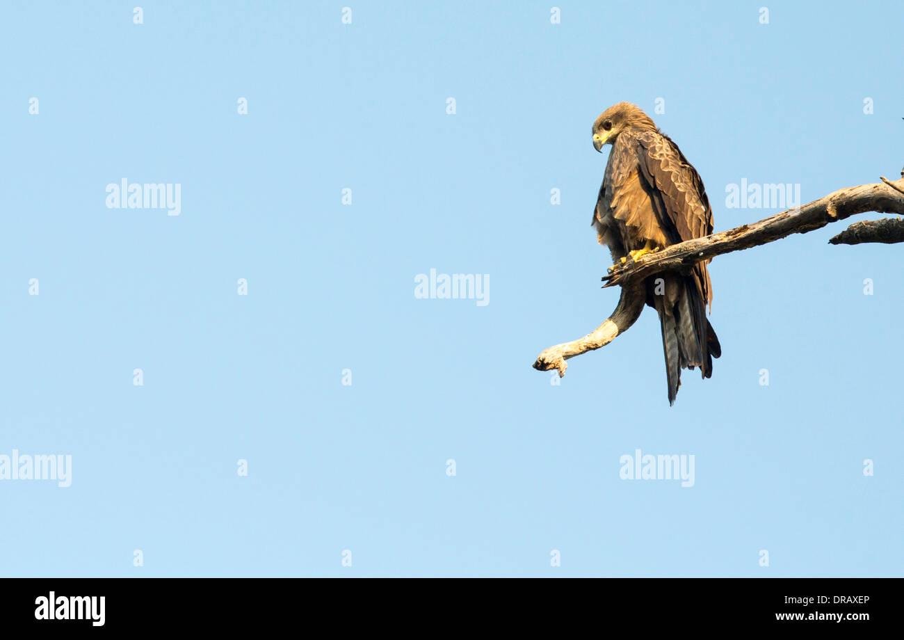 A Black Kite, Milvus migrans in Ahmedabad; India; - Stock Image