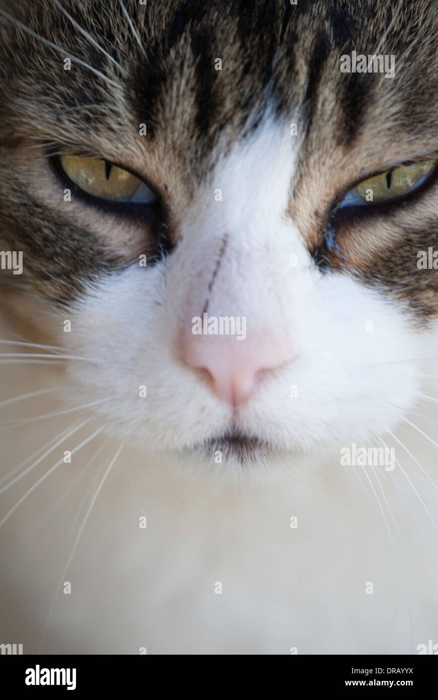 Close up of mature male domestic cat's face, with white, gray, brown, stripes, and a scratch on his nose. Stock Photo