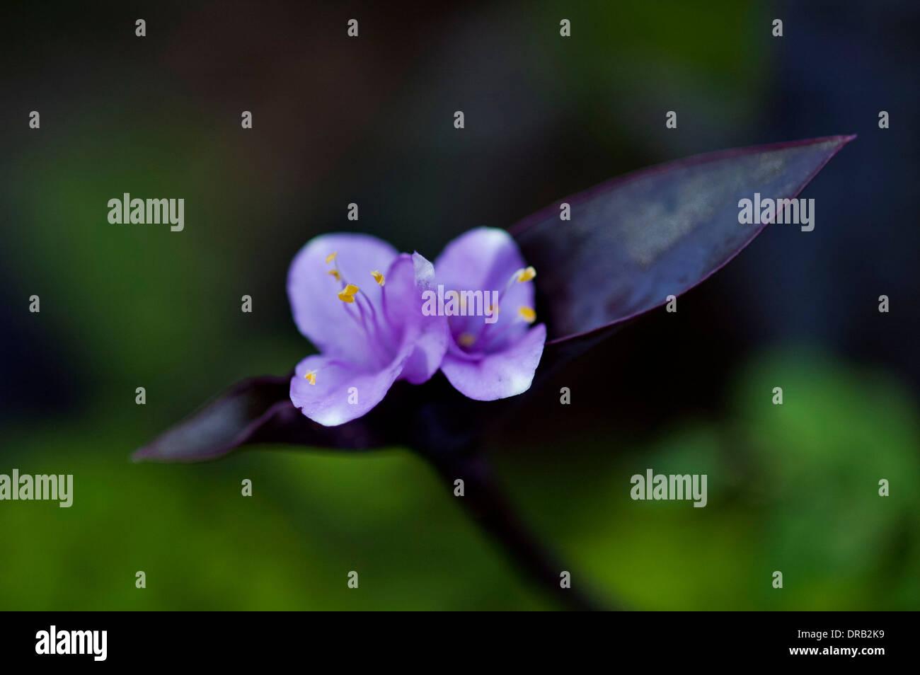 Wandering Jew in bloom - Stock Image