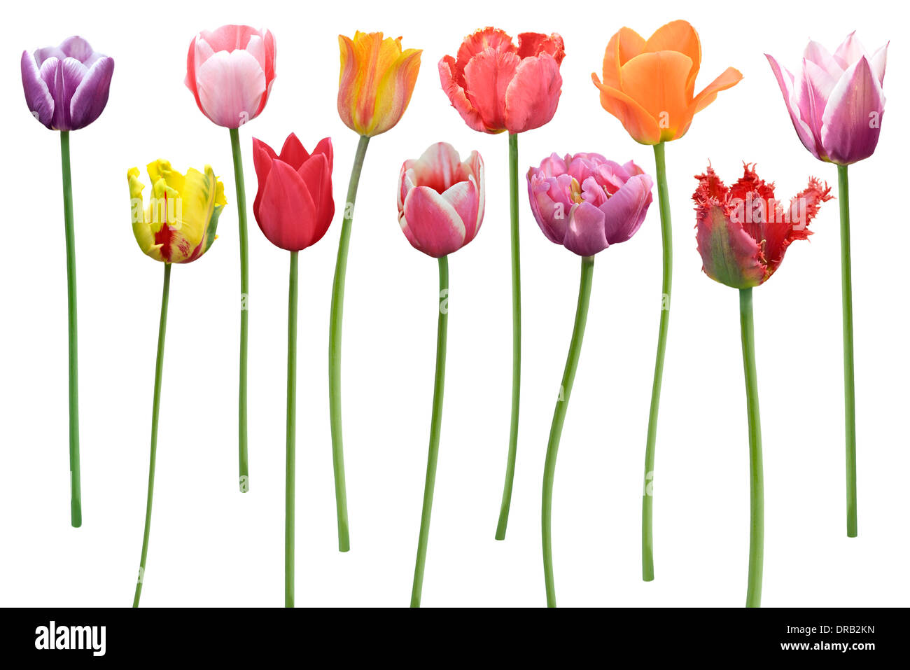Colorful Tulips Flowers In A Row Isolated On White Background Stock Photo