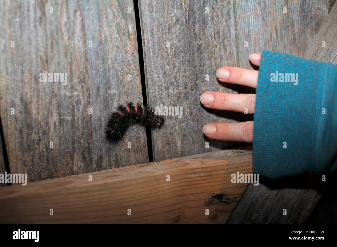 Wooly bear caterpillar. - Stock Image