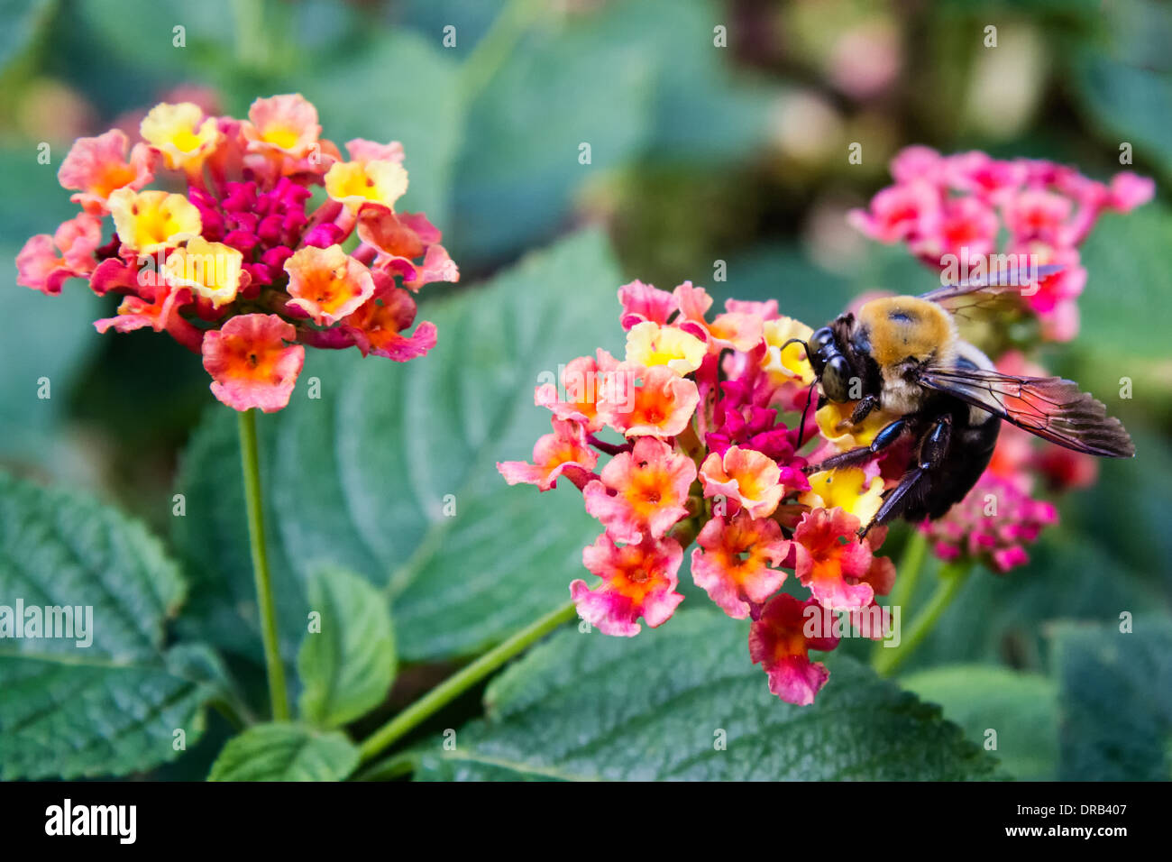 A bee (Hymenoptera) gathers pollen from flowers. - Stock Image