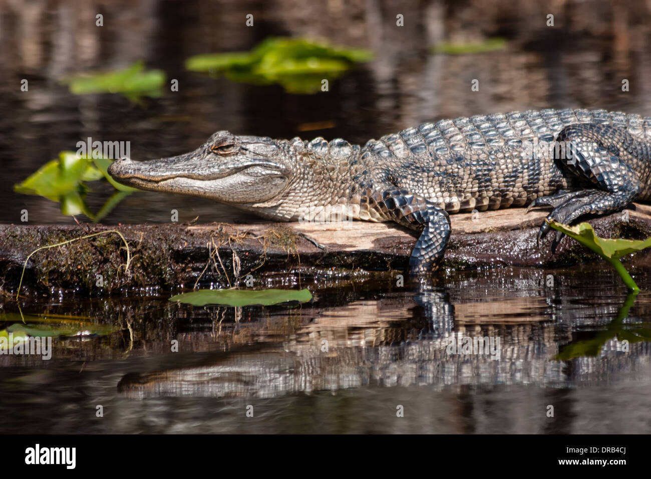 An American alligator (Alligator mississippiensis) warming itself by sitting in the sun in a swamp. - Stock Image