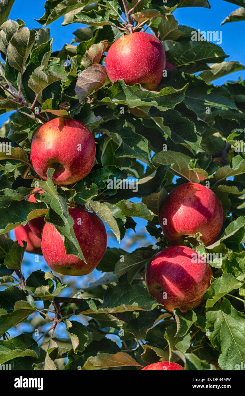 Apples on a tree in a fruit orchard in Oregon.  Hood River, Oregon - Stock Image