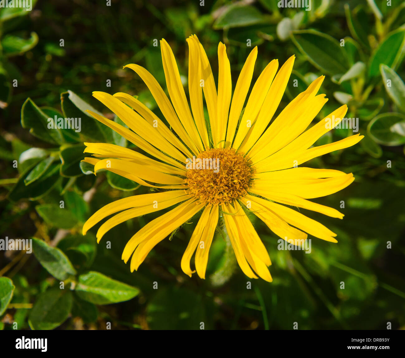 Yellow Mountain Flower Stock Photos Yellow Mountain Flower Stock