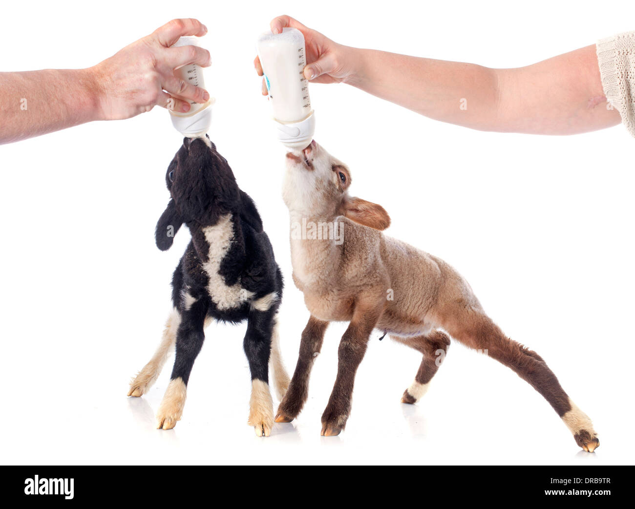 young lamb sucking a bottle feed in front of white background - Stock Image