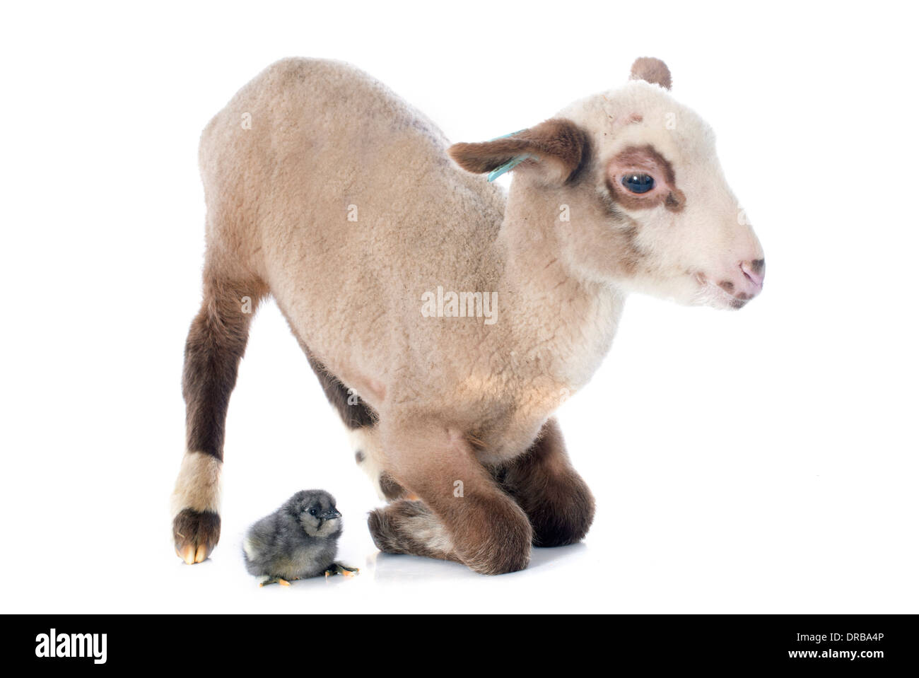 young lamb and chick in front of white background Stock Photo